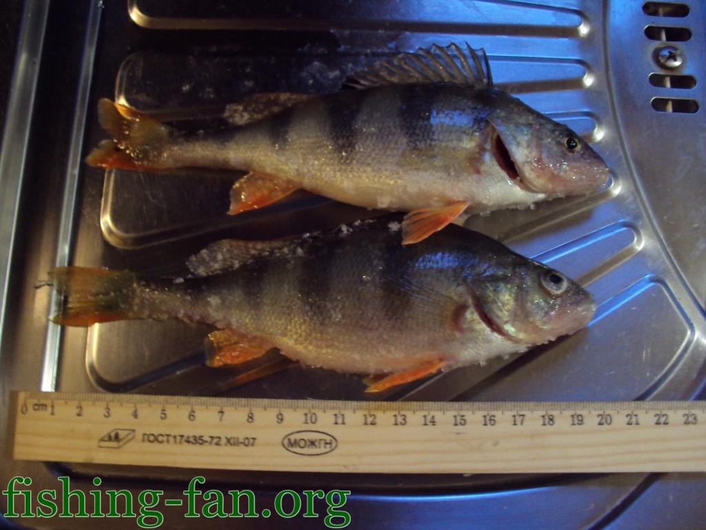большой окунь на зимней рыбалке