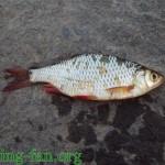 красноперка на спиннинг рыбалка весной