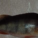 Окунь - вид рыбы, которую можно ловить на спиннинг