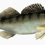 Судак - вид рыбы, которую можно ловить на спинниг