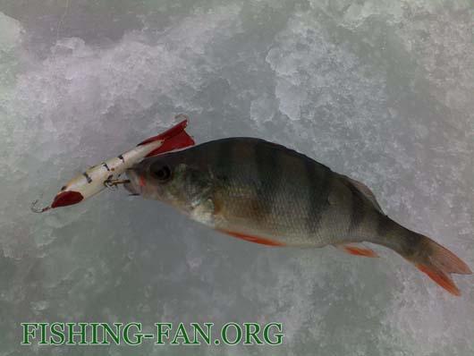 Ловля окуня на балансиры со льда в феврале