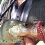 Дневник рыбака 26 05 13 г. Ловля окуня, щуки и судака на спиннинг в конце мая.
